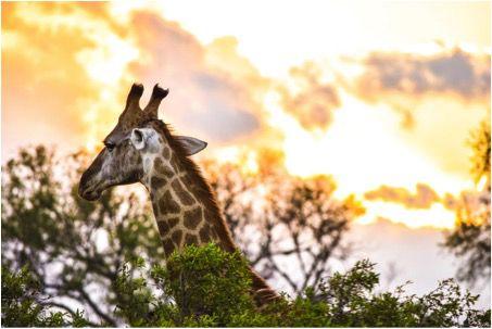 Giraffe_in_the_Wild