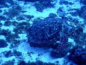 Sea_Turtle_Cozumel_Mexico