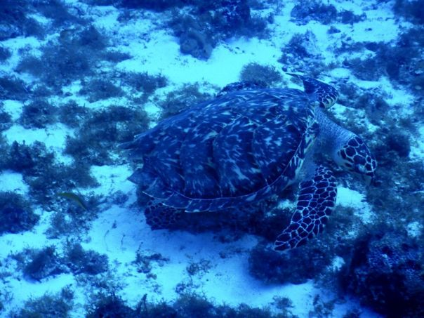 Sea_Turtle_Cozumel_Mexico