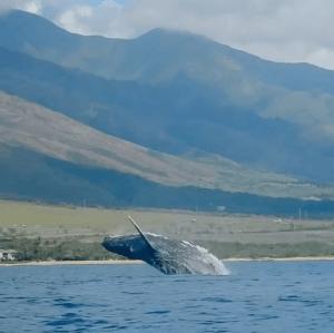 Humpback_Breach_Maui_Hawaii_Heidi_Siefkas