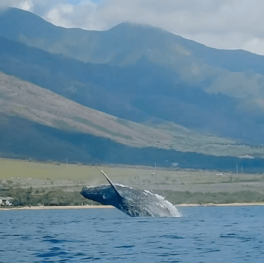 Unique Up Close and Personal Encounter with Humpback Whales in Maui Hawaii