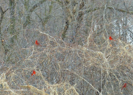 male cardinals in trees