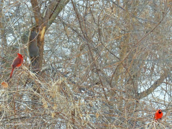 male cardinals and squirrel in tree