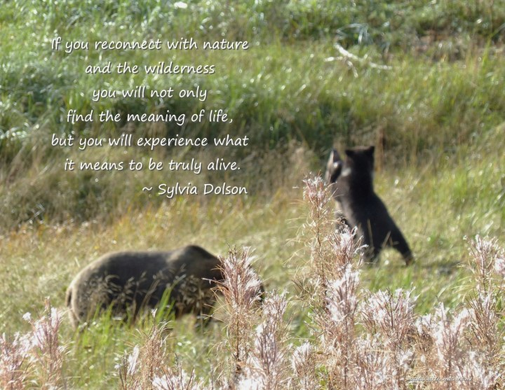 """Bears with Sylvia Dolson quote """"If you reconnect with nature and the wilderness you will not only find the meaning of life, but you will experience what it means to be truly alive."""""""
