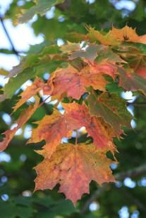 Herbst_Ahorn