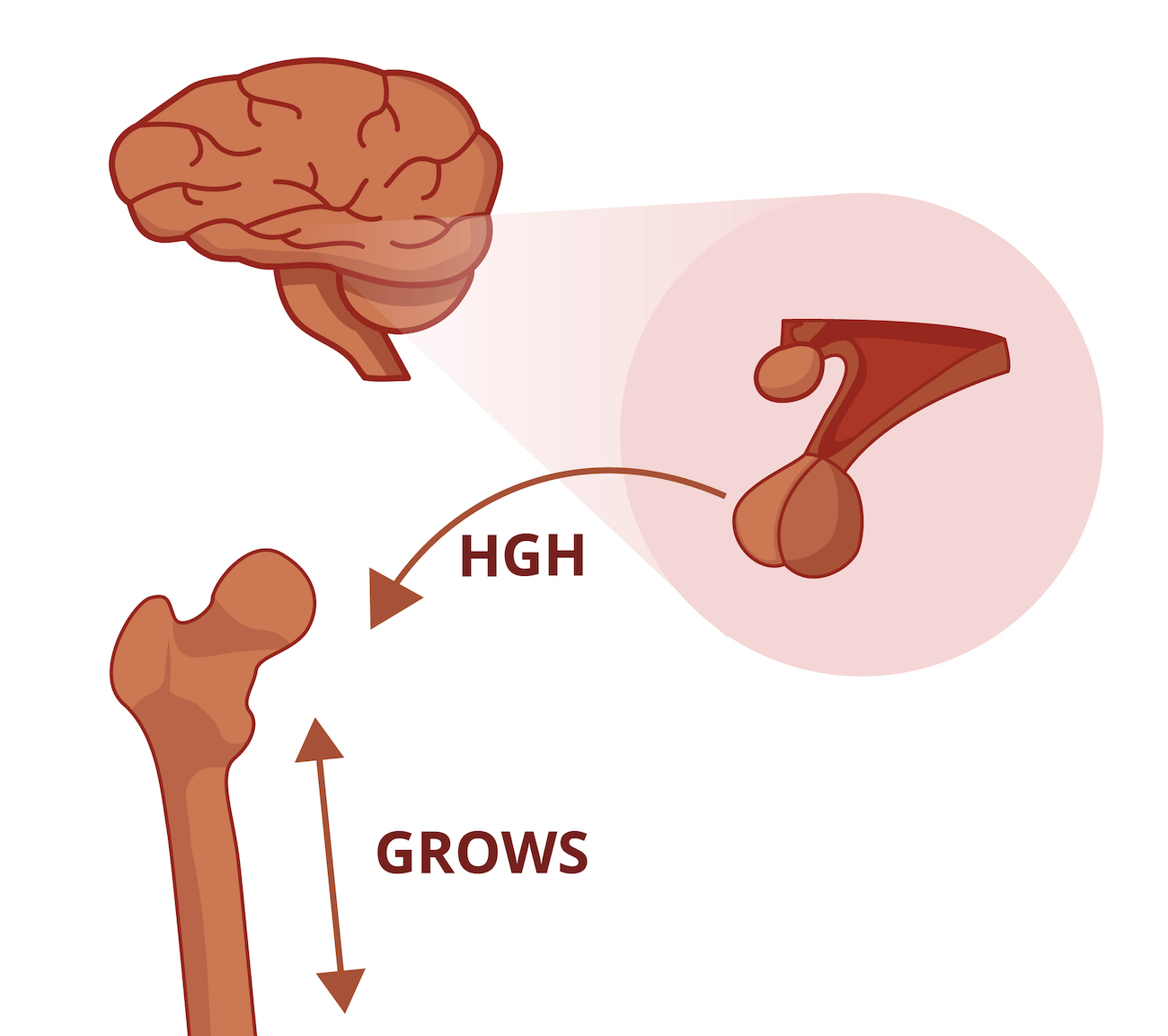 HGH bone growth