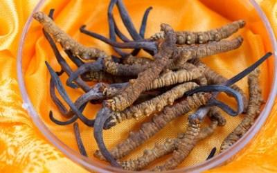 Cordyceps – Das Kraftpaket unter den Heilpilzen