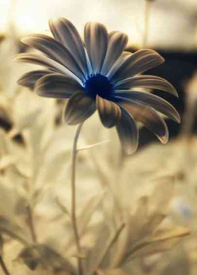 IR-Blume