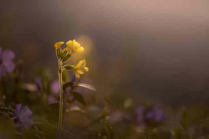 Primula veris im Abendlicht