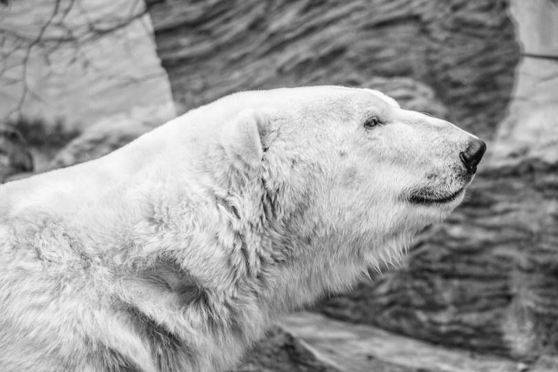 Der Eisbär (Ursus maritimus)