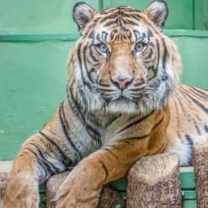 Der Tiger (Panthera tigris)