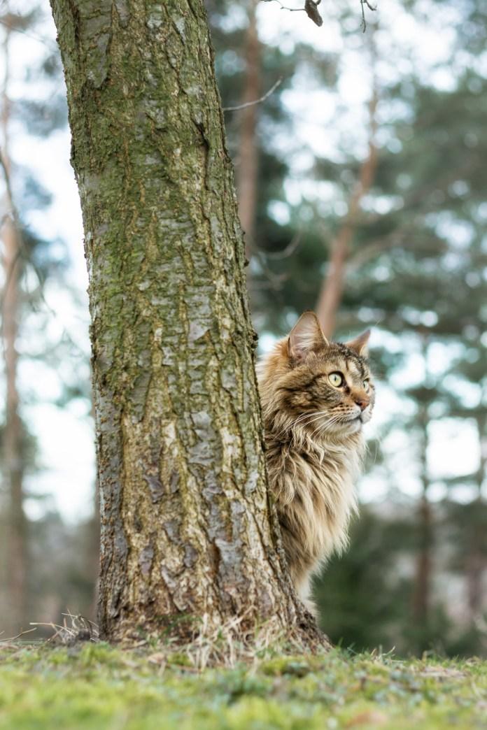 Der Kater hinterm Pflaumenbaum.