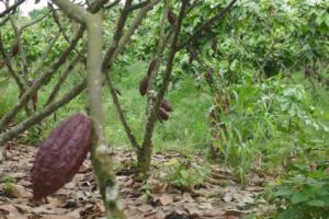 Kakao Frucht