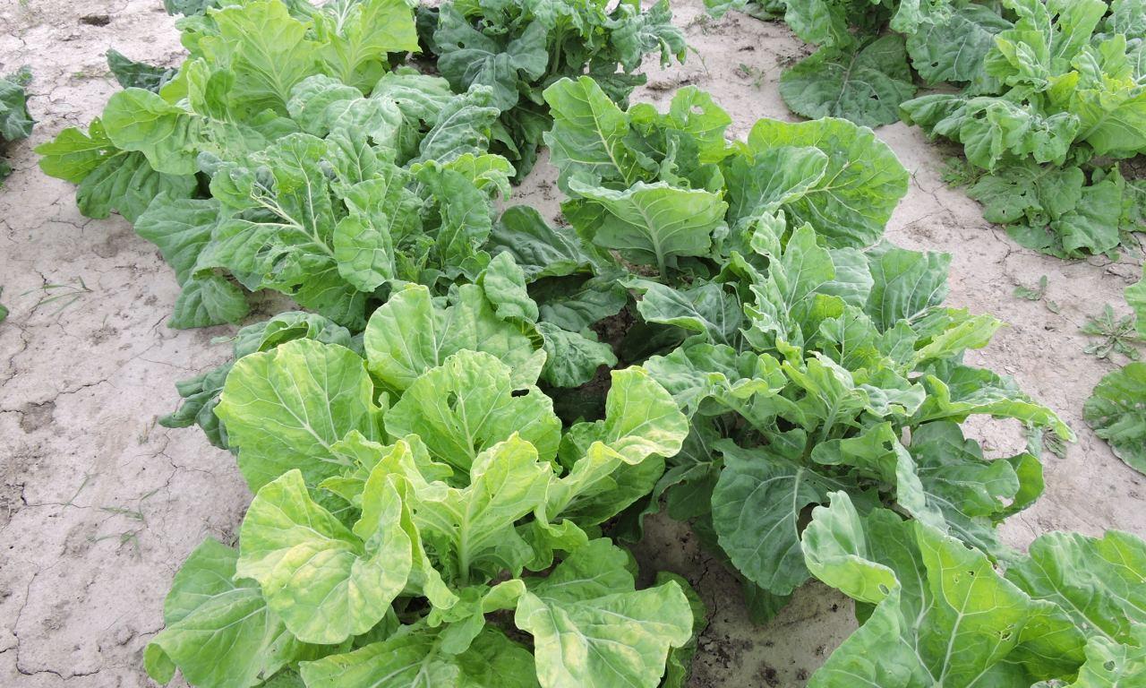 Cabbage Collard – 28
