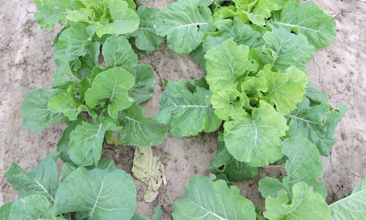 Cabbage Collard – 32
