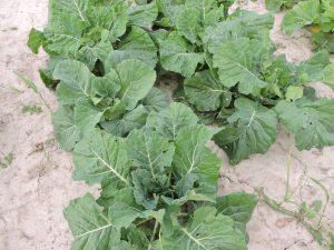 Collard 55_White Cabbage Collard