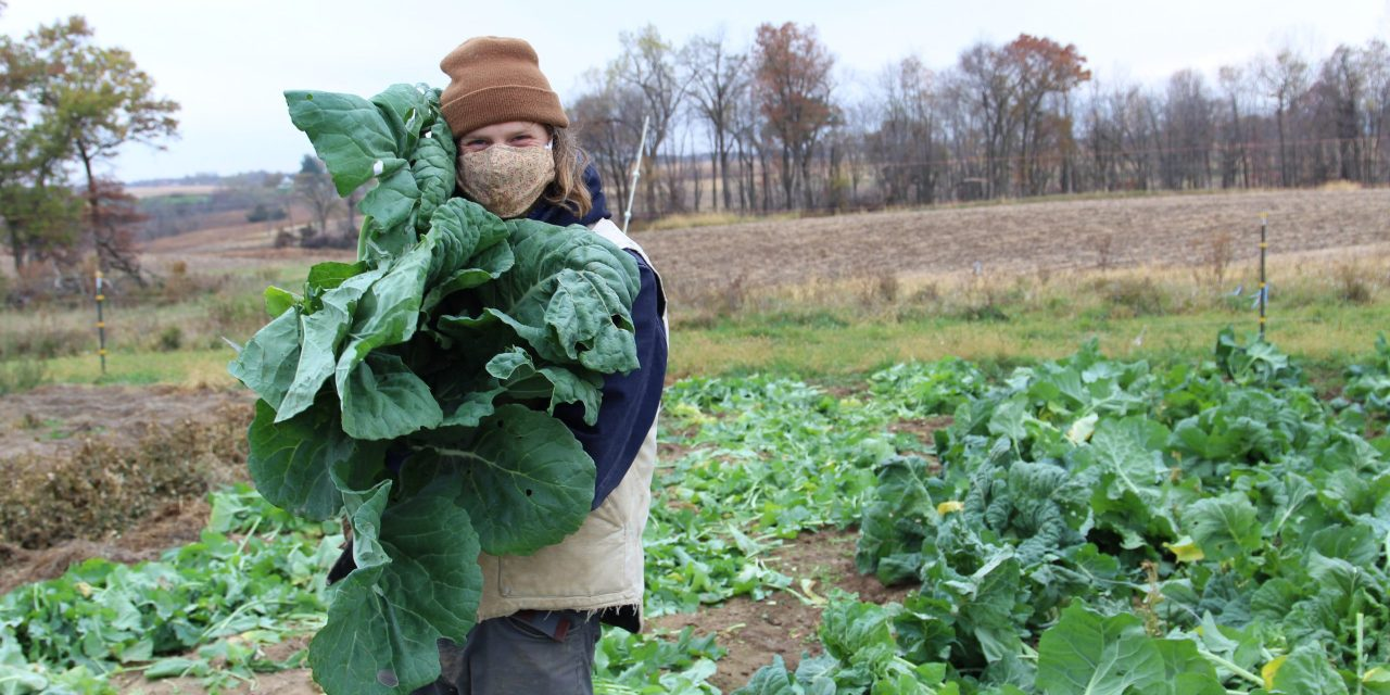 Digging Collards: A snapshot of biennial seed production at Seed Savers Exchange Heritage Farm