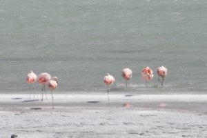 アルマガ湖のフラミンゴ
