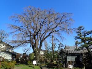 矢板記念館の枝垂桜