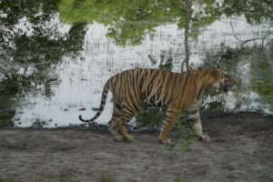 「バンダウガル国立公園」のベンガルトラ
