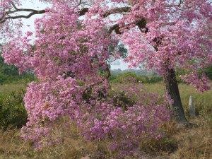 ピンク色のイッペーの花