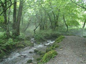 大山のブナ林と清流