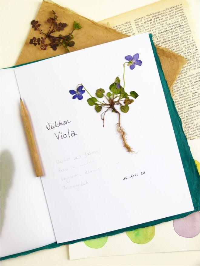 Veilchen gepresst im Herbarium