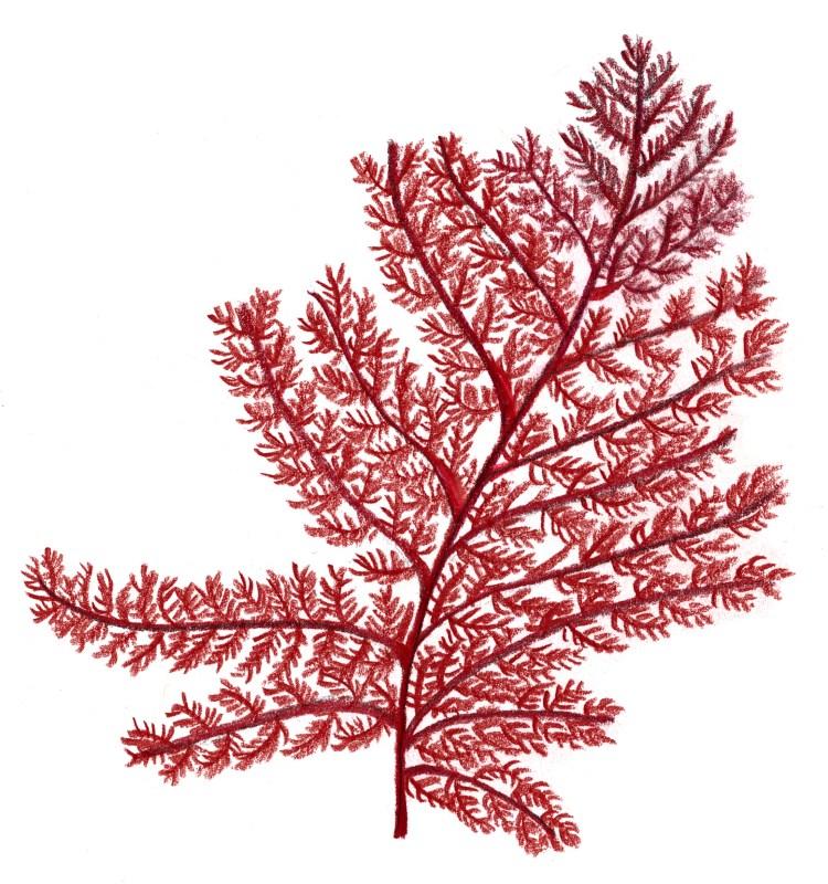 Norikos julgransfavorit, julgransalgen (Brongniartella byssoides)!