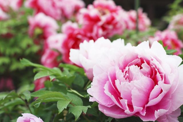 一語雙關,皇后笑笑:「再妖豔的芍藥始終是雜花,不比牡丹端莊有餘。」