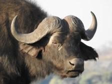 133_Buffalo