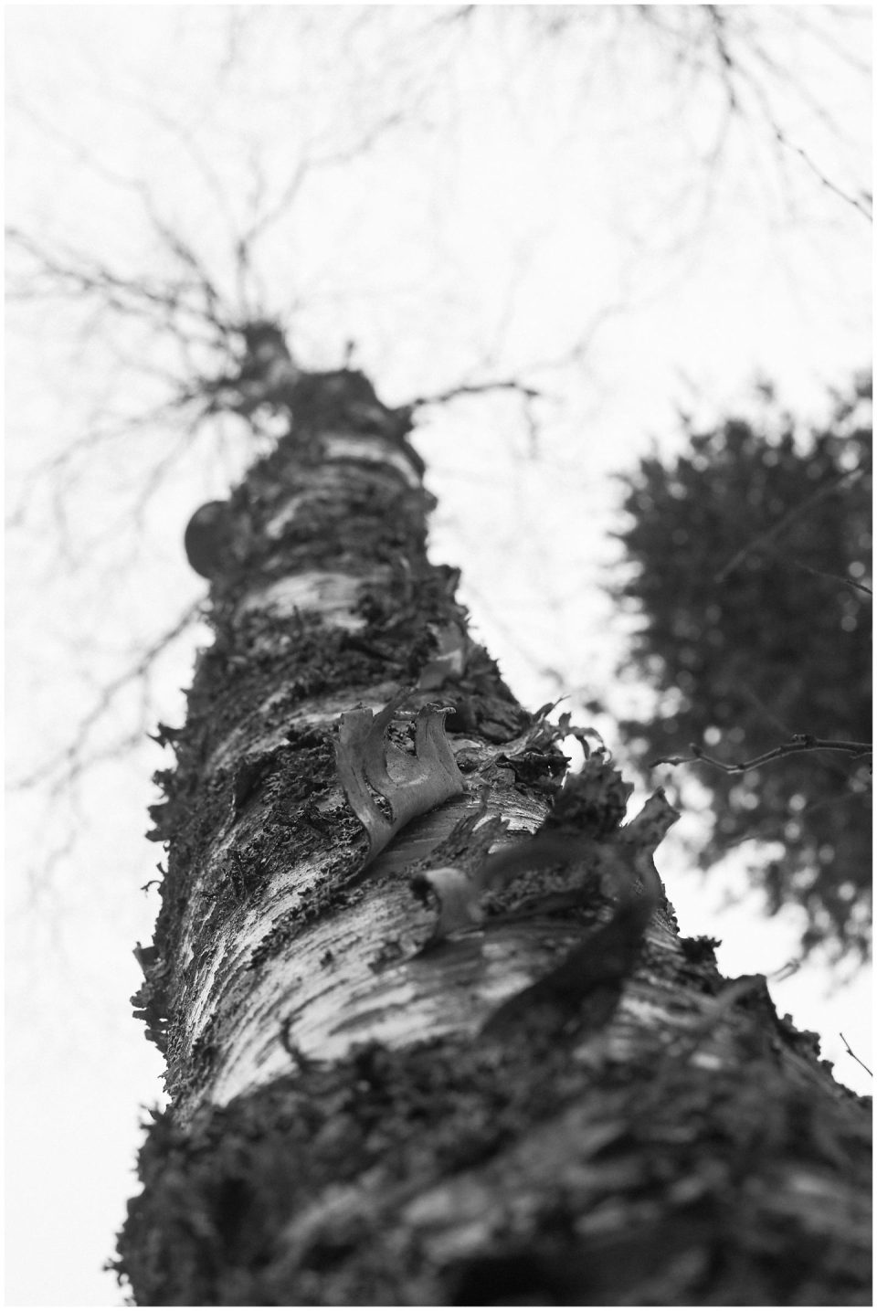 lapland finland tree bark and shedding one's past self