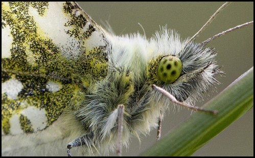Male Orange-Tip Close-up butterfly macro