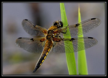 4-spot chaser dragonfly at Wicken Fen Cambridgeshire England