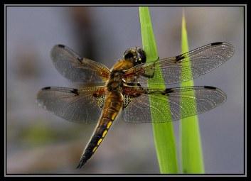 4-spot chaser dragonfly at Wicken Fen Cambridgeshire England