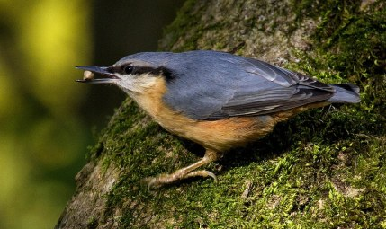 nuthatch at Leighton Moss RSPB reserve lancashire england