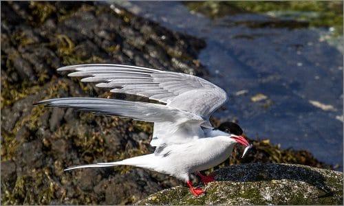 Arctic tern 1000pix