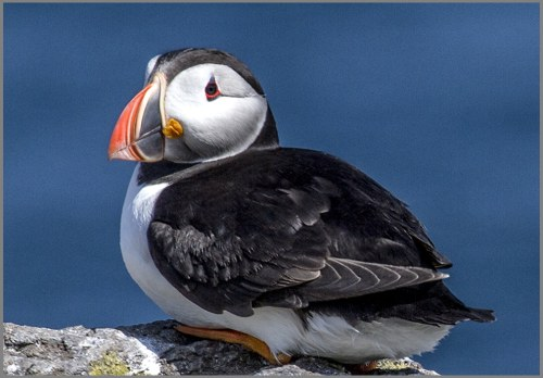 puffin sitting 1000pixels
