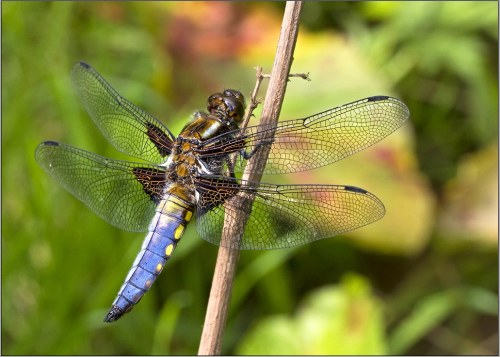 blue male broad-bodied chaser dragonfly