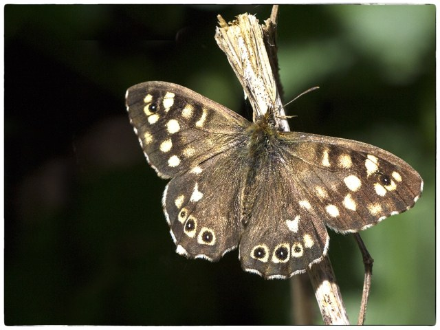 speckled wood overwing