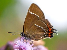 White-Letter Hairstreak Butterfly Brockholes