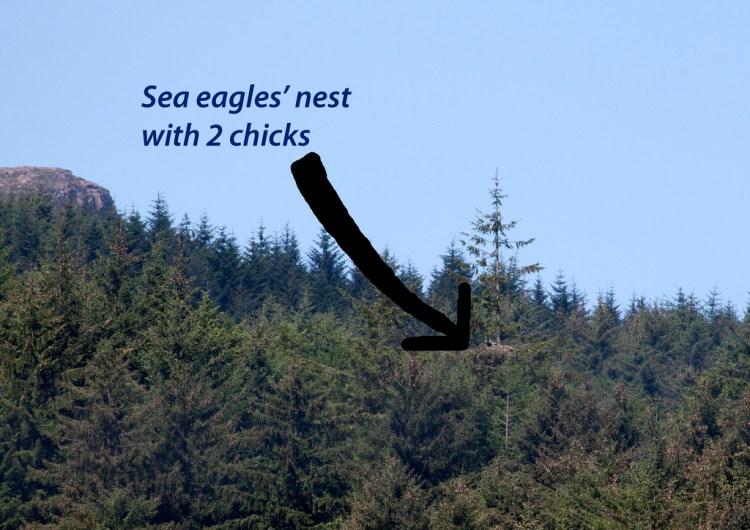 Sea eagles nest