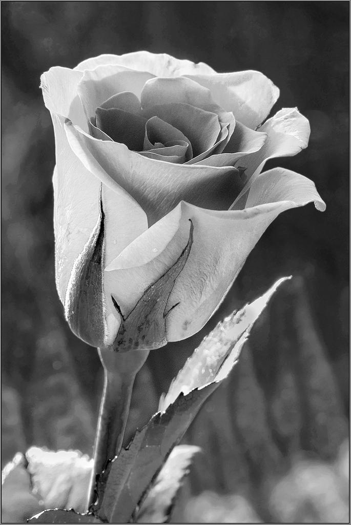 A Rose at the Window monochrome B&W macro