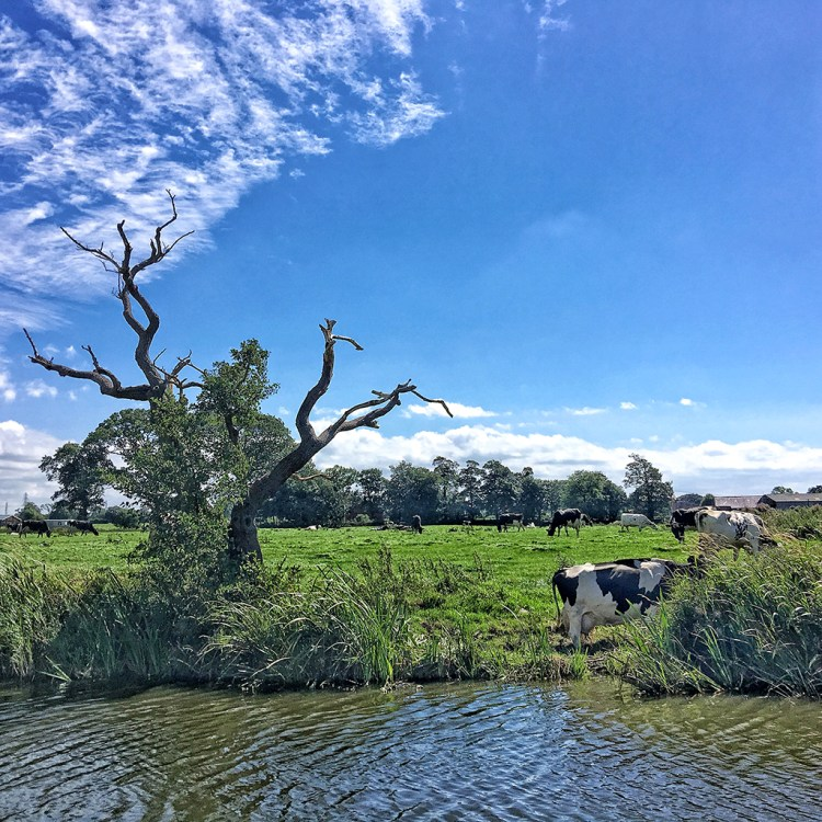 A Cow and a Tree