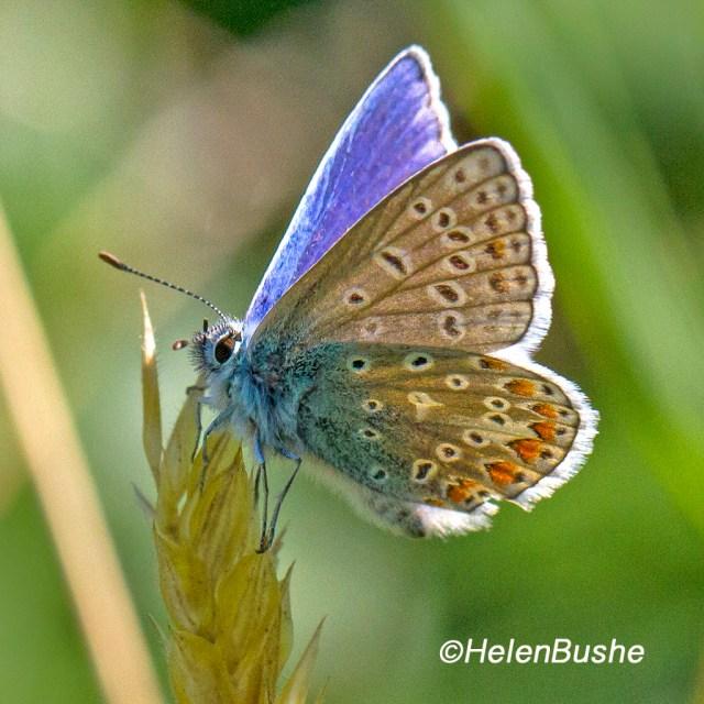 Blue on Grass