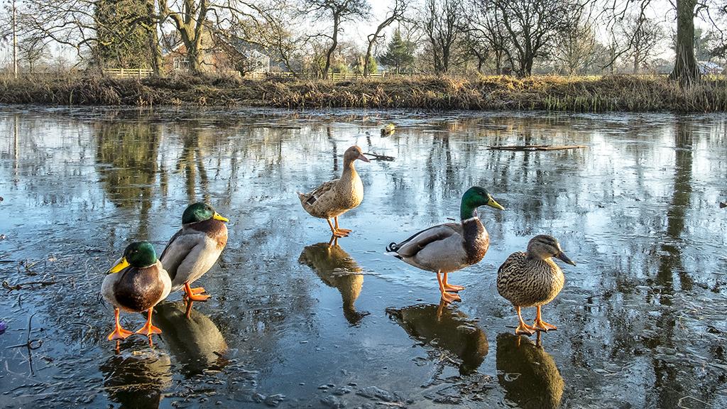 Ducks on Ice Lancaster Canal