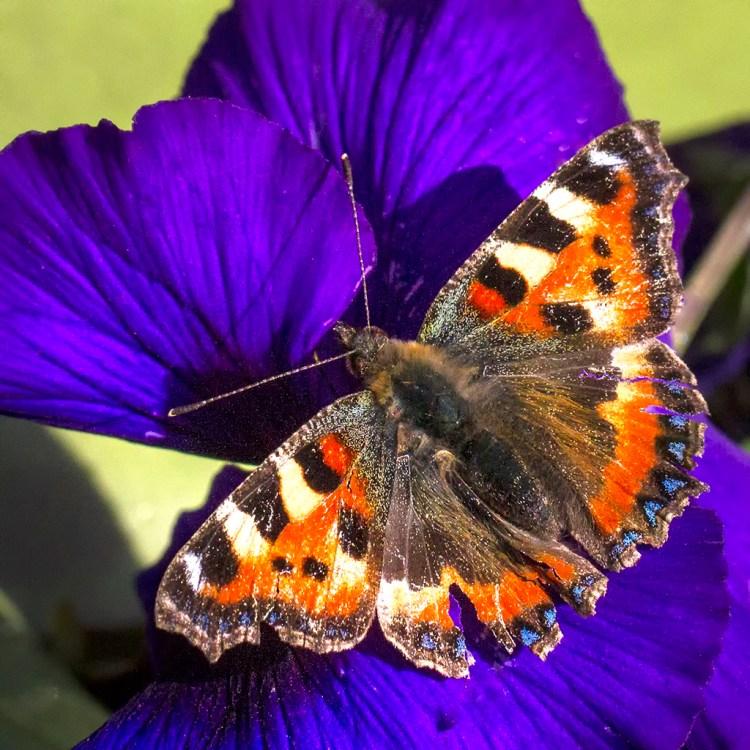 Small Tortoiseshell butterfly garden 2017 Lancashire