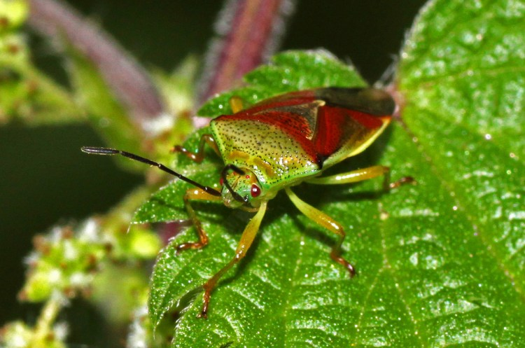 Shield Bug insect green