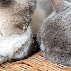 Best Friends British Shorthair cats Bluejohn MistyWordless Wednesday