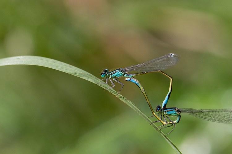 Blue-Tailed Damselflies Mating Monday Macro Brockholes