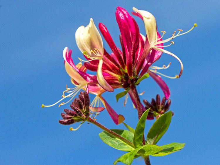 GARDEN: Honeysuckle macro flower Wordless Wednesday